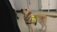 Charity warning about fake service dogs