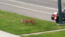 A mother bobcat carries a kitten across a busy Calgary road. (Brenda Anderson)