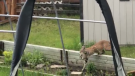 Caught on cam: 'Moving day' for bobcat family