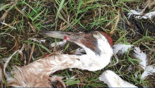 Whooping crane killed on Manitoulin Island