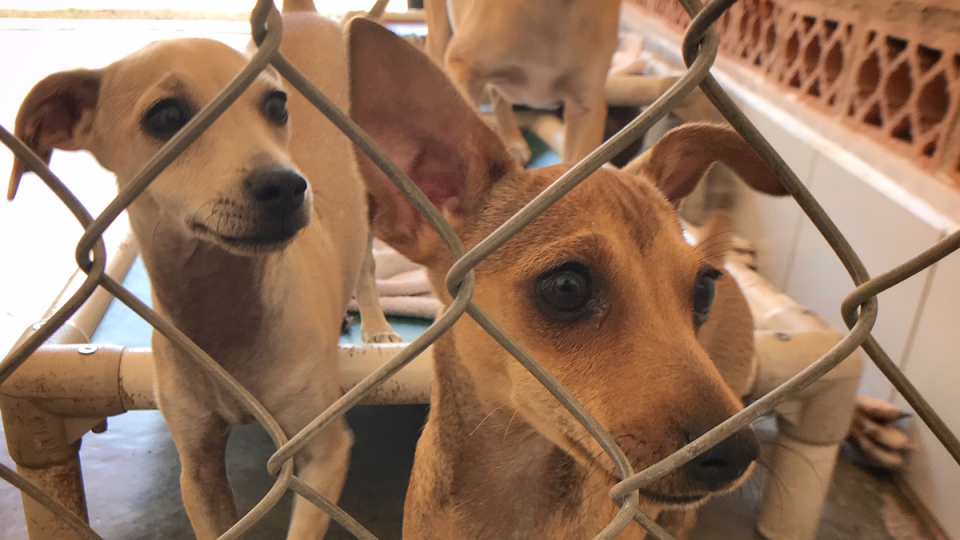 Rescued dogs are seen behind a fence at the Puerto Vallarta SPCA.