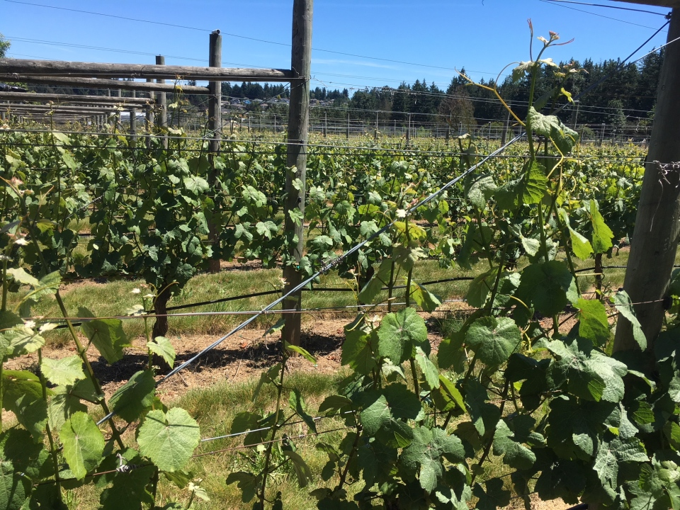 The owners of Symphony Winery in Saanichton say while they're concerned about climate change, they have to admit the hot weather is good for growing grapes. June 11, 2019. (CTV Vancouver Island)