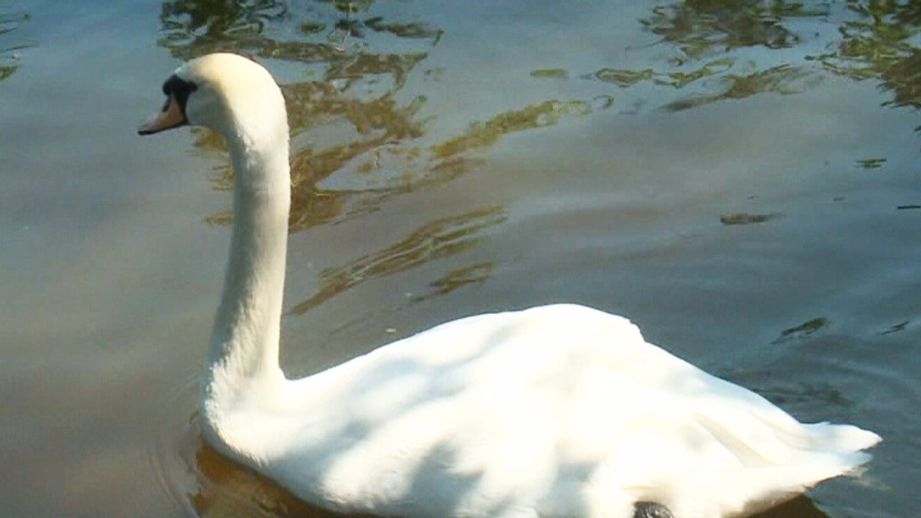Ottawa's royal swans may make Quebec their permanent home