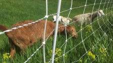 weed-eating goats in Rundle Park