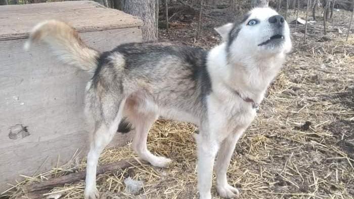 Norway House Animal Rescue seeking homes for 11 huskies