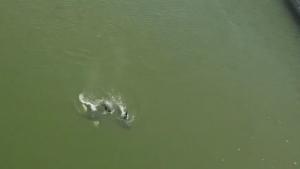 orcas in false creek