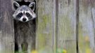 A raccoon is seen in this undated file photo.