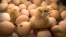 France aims to ban the widespread but hugely controversial practice of slaughtering male chicks by the end of next year. (AFP)