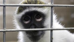 Bella the vervet monkey