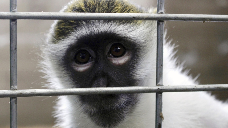 In this May 13, 2019, photo, Bella the vervet monkey looks at the camera at Primates Inc., in Westfield, Wis. (Carrie Antlfinger / AP)
