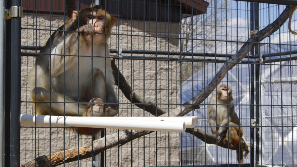 In this May 13, 2019, photo, River, left, and Timon, both rhesus macaques, sit in an outdoor enclosure at Primates Inc., in Westfield, Wis. (Carrie Antlfinger / AP)