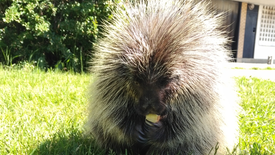 Slow-moving porcupines often struggle to escape wildfires. The porcupine pictured was once someone's pet. It now is a permanent resident at WILDNorth.