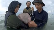 Feeding milk to Marium, the dugong calf