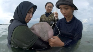 Feeding milk to Marium, the dugong calf