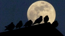 Pigeons are silhouetted by a rising, nearly full moon as they perch on a roof.