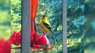 Goldfinch trying to drink from the Hummingbird feeder in St.Malo. Photo by Gracie Doerksen.