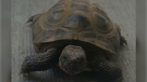 A tortoise named Vladimir is shown in an image provided by Cindy Troake.