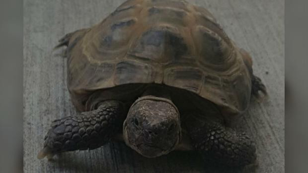 Vladimir the tortoise