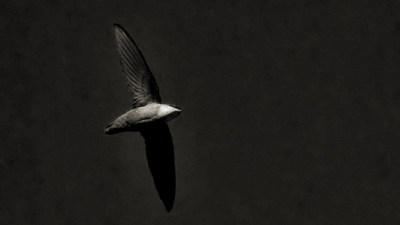 A chimney swift bird is shown in a handout photo. (THE CANADIAN PRESS/HO-Wikimedia-Jim McCulloch)
