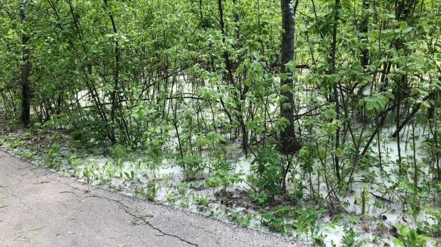 Poplar seeds in Manitoba