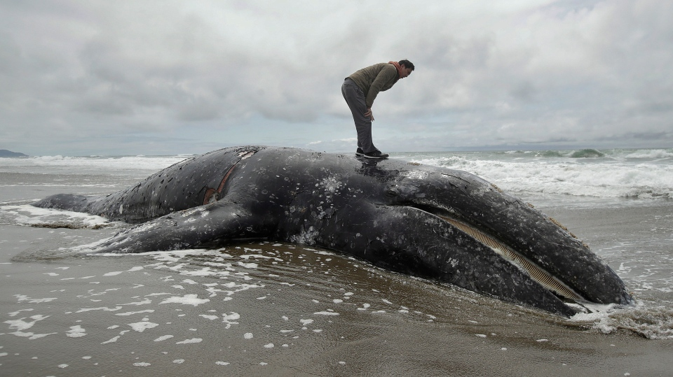 In this May 6, 2019 file photo, Duat Mai stands atop a dead whale at Ocean Beach in San Francisco. Federal officials are asking waterfront landowners in western Washington to volunteer their properties to be the final resting place for dead gray whales. (AP Photo/Jeff Chiu, File)