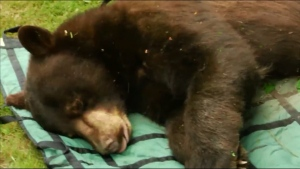 This black bear was tranquilized and relocated.