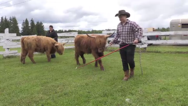 14-year-old Austin Wilkie show off his Scotish Highland Hefer