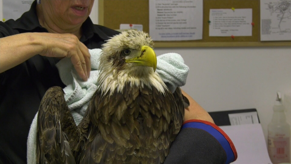 'A very small amount can be their demise': Eagle sickened by banned product