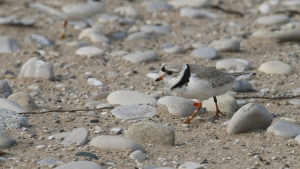 In this May 30, 2019 photo, a piping plover walks on the sand in Glen Haven, Mich. (AP Photo/John Flesher)