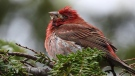 A purple finch showing signs of trichomoniasis is seen in this undated handout photo. Nova Scotians are being advised by a bird conservation group to remove bird feeders and close up bird baths around their property as a fatal disease spread by damp, human-provided seed is killing purple finches. (THE CANADIAN PRESS/HO, Jeannie Fraser)