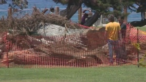 The California tree that was thought to have inspired Dr. Seuss's environmental degradation children's book 'The Lorax' has fallen in the town of La Jolla where it stood for at least 80 years. (CNN)