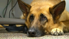 This Feb. 18, 2014 shows Lexy, a therapy dog at Fort Bragg, N.C., demonstrating the sad puppy dog eyes (AP Photo/Alex Sanz, File)