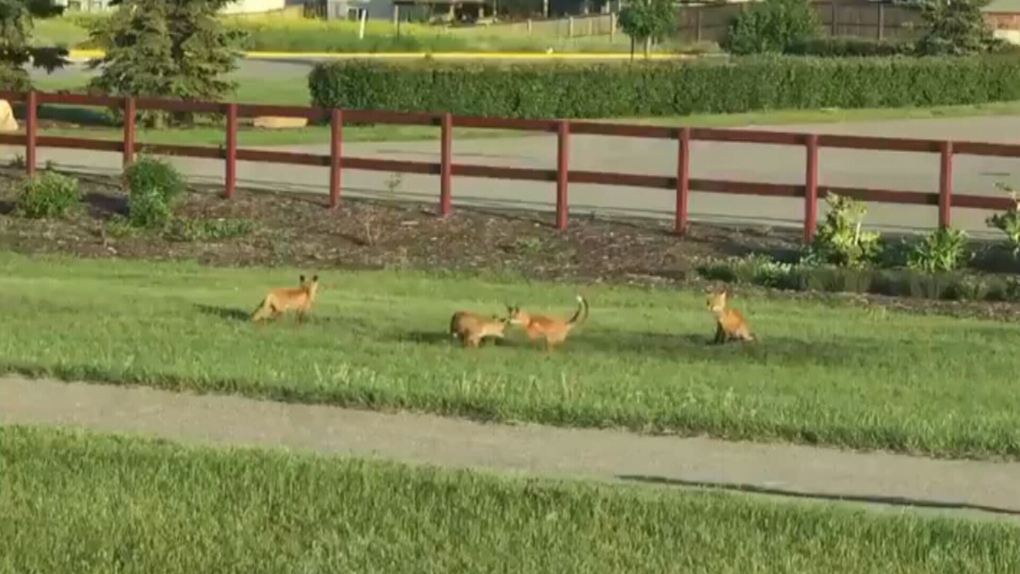 Adorable video shows litter of foxes in central Alberta town