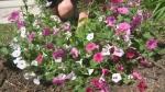 Bringing colour to your backyard garden