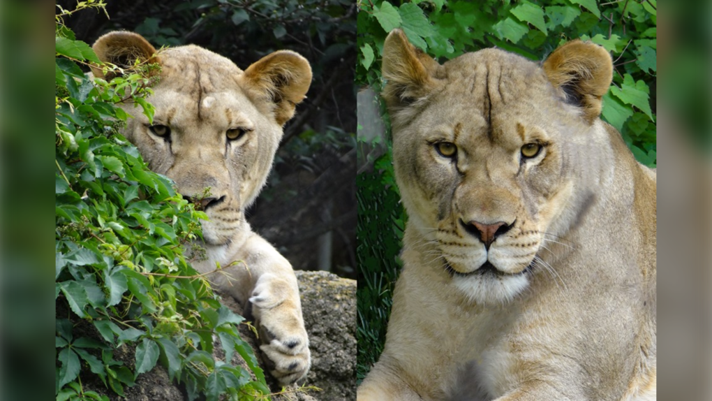Calgary zoo lionesses