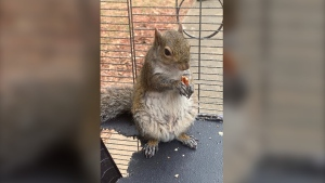 "In this June 2019 photo released by the Limestone County Sheriff's Office, a squirrel is shown in a cage, in Ala. Alabama investigators say a man kept the caged ""attack squirrel"" in his apartment and fed it methamphetamine to ensure it stayed aggressive. (Limestone County Sheriff's Office via AP)"