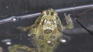 Aquarium setting northern leopard frogs free