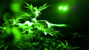 FILE - This May 20, 2019, file photo shows marijuana plants in a grow room using green lights during their night cycle in Gardena, Calif.  (Richard Vogel / AP)