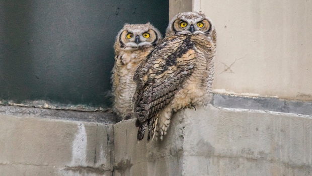 Young owls perch on loading dock in northwest Calgary