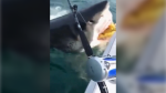 Fishermen encounter great white shark