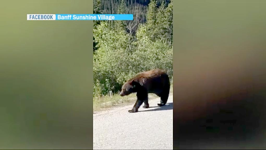 Bear filmed strolling along Alberta highway