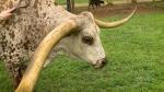 Trending: Guinness record-setting longhorn