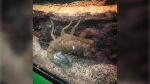 Staff at the Victoria Bug Zoo confirm in an online post that the scorpion has produced about 20 offspring, and the whole family is doing well. (Victoria Bug Zoo)