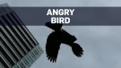 Caught on cam: Bird dive-bombing Toronto residents