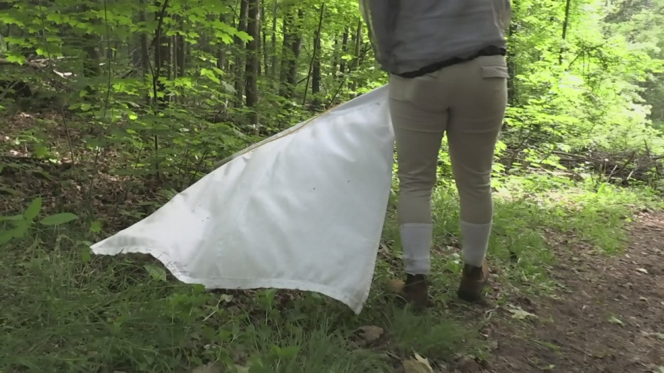 Health officials with the Simcoe Muskoka District Health Unit drag a white cloth to try and find black-legged ticks in Adjala-Tosorontio on Wed., June 19, 2019 (CTV News/Rob Cooper)