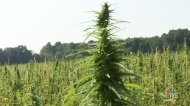 Demand for hemp discussed at Farm Progress Show