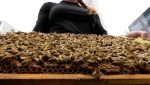 Staff at the Calgary Petroleum Club are using honey from their bee hives in the rooftop garden in the kitchen.