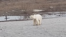 polar bear in Russia