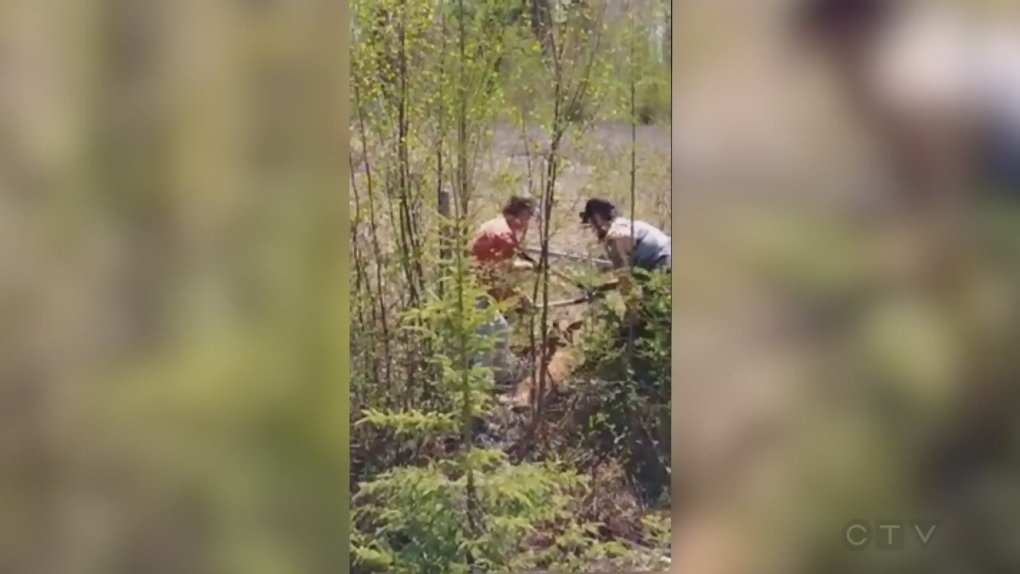 Small town heroes save a baby moose trapped in a fence