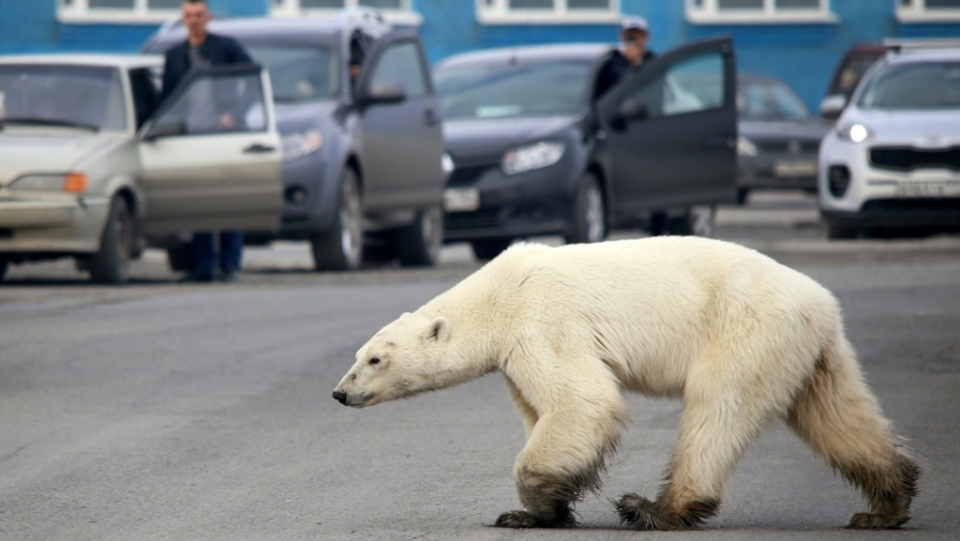 A stray polar bear walks along a road near the Russian industrial city of Norilsk, hundreds of kilometres from its natural habitat. (AFP)